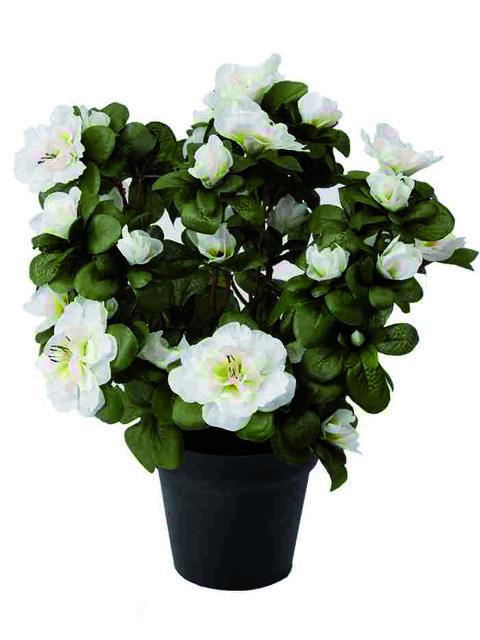 Pianta azalea bianca