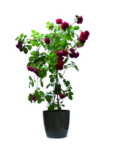 pianta di rose rosse