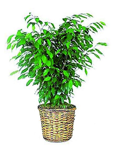 pianta ficusbush