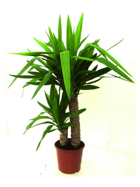 pianta di yucca
