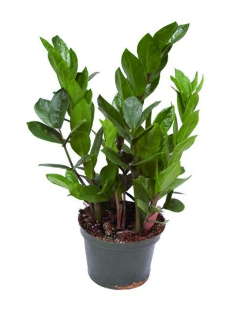 pianta zamioculas